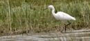 little egret by sparrowhawk
