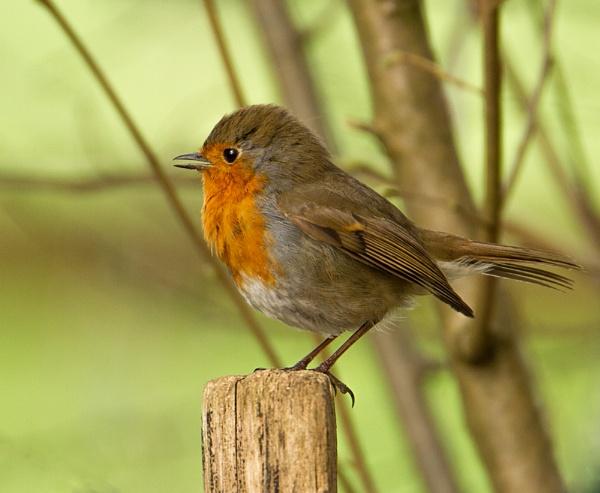 Robin by Growmore