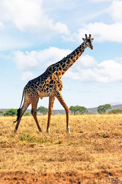 Mara Giraffe by SteveMoulding