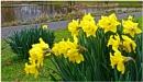 """Daffodils"" by RonnieAG"