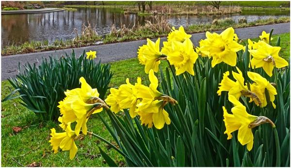 "\""Daffodils\"" by RonnieAG"