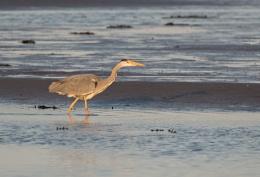 Grey Heron in Evening Sun