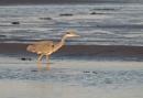 Grey Heron in Evening Sun by jasonrwl
