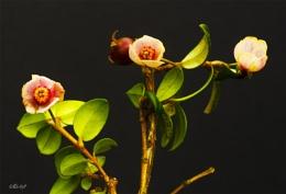 Cranberry blossoms (0568)