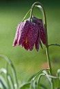 Fritillary by CaroleS