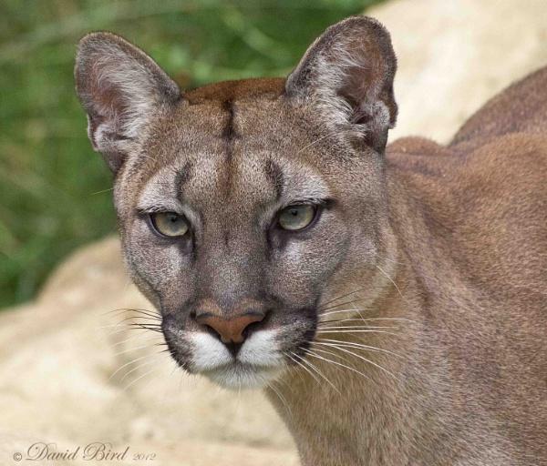 Puma by DavidBird