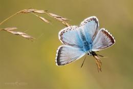 Chalk Hill Blue - Polyommatus coridon