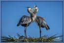 Blue herons by rgg