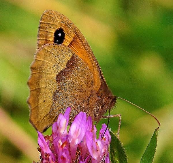 Meadow brown by georgiepoolie