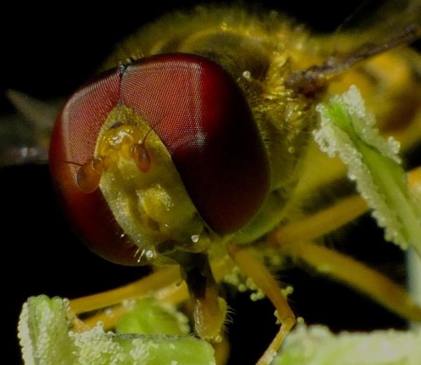 Sphaerophoria Scripta. Hoverfly. by macromal