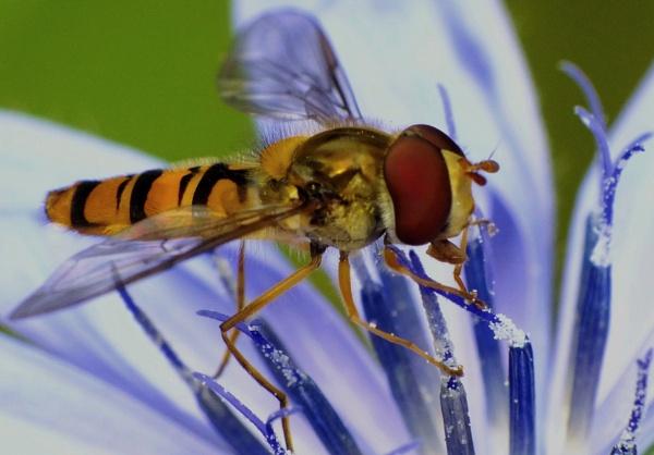 Episyrphus Balteatus. marmelade Fly. by macromal