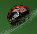 Adalia Decempunctata. 10 spotted Ladybird. by macromal