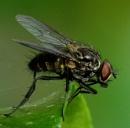Anthomyiidae Family. Root-Maggot Fly. by macromal