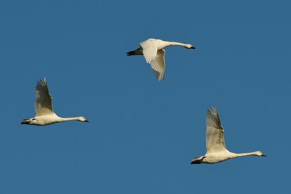 Swans by nealie