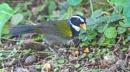 """Orange Billed Sparrow """"Arremon Auratiirostris"""", Costa Rica by brian17302"""