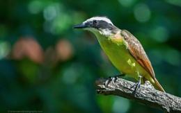 "Great Kiskadee ""Pitangus Sulpheratus"", Costa Rica"