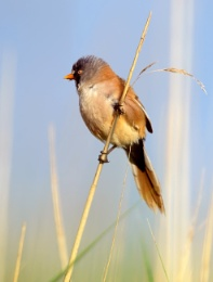 Bearded Reedling on the watch