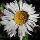 Daisy by civitas