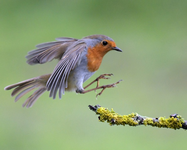 Robin in a rush! by Holmewood