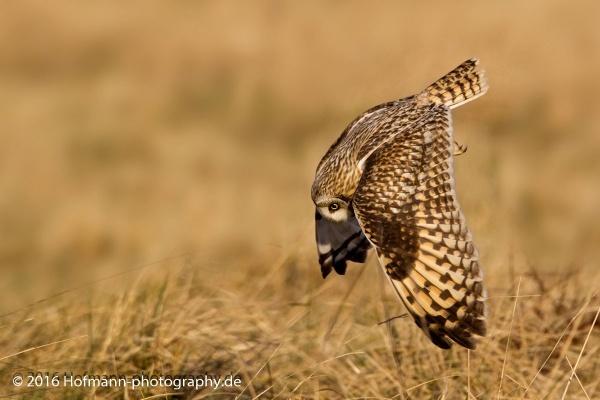 on te hunt - Shorteared Owl by drbird