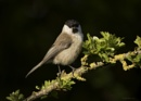 Marsh tit by ade123