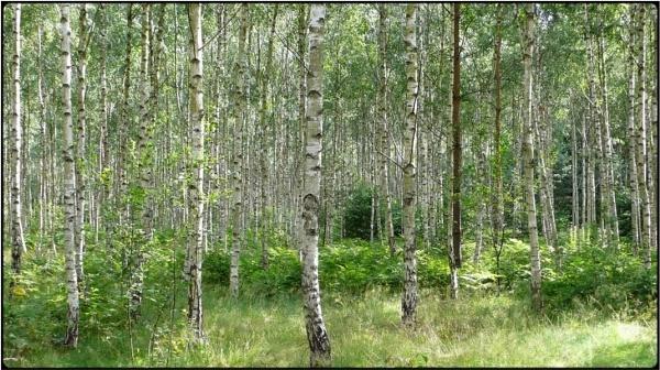birch grove by FabioKeiner