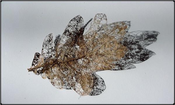 skeleton leaf by FabioKeiner