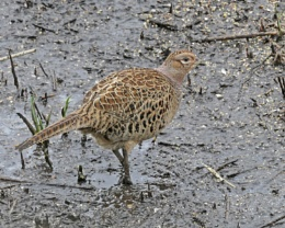 Female Pheasant