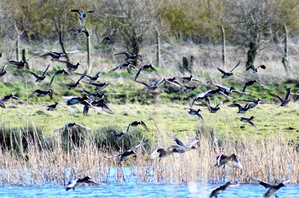 Mallard, Wigeon, Lapwings and Pintails landing . by cdnikon