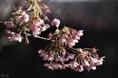 Cherry blossom time by pentaxpatty