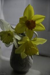 3 daffodils