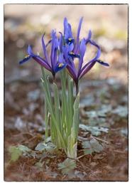 Iris: reticulata