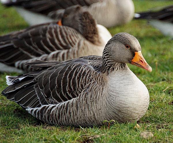 Resting Greylag Goose. by wentnorth