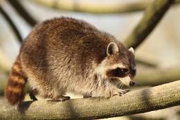Raccoon--Procyon lotor