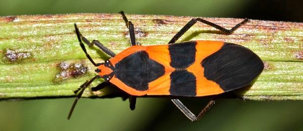 Large Milkweed Bug--Ocopeltus fascaitus by bobpaige1