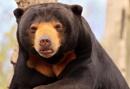 Sun Bear--Helarctos malayanus by bobpaige1
