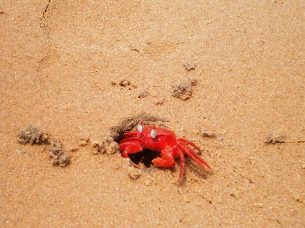 red crab by imdeb76