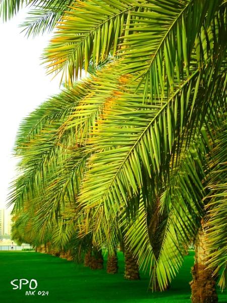 Sharjah - Palms Oasis (SPO) by SharjahBirds
