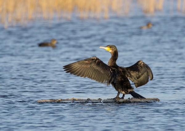 Cormorant by AveK