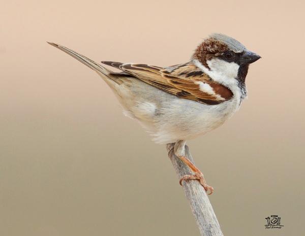 Indian House Sparrow by paul_kinnock