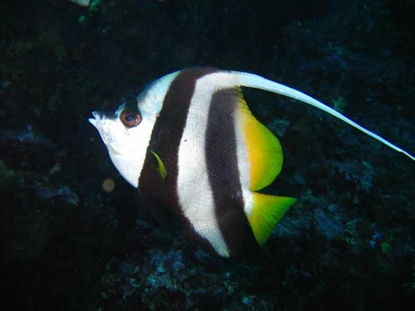 Heniochus Diphhreutes (Reef Bannerfish) by mikekay