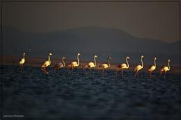 Cat walk of Greater flamingo's at Tungabbhadra Back waters early morning click