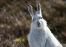 Mountain Hare by kfjmiller at 25/03/2017 - 10:33 AM