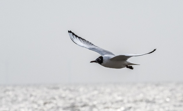 Black Headed Gull In Flight by MartinLeech