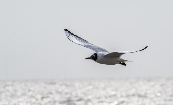 Black Headed Gull In Flight by MartinLeech