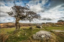 Tree at Combestone Tor