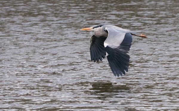 Heron flying low by tom_earwaker