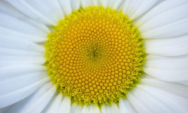 Daisy by JanetAS