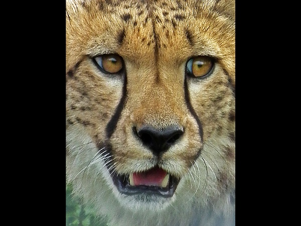 Cheetah by Sallyb63