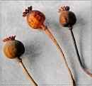 Poppy Seed Heads by MalcolmM
